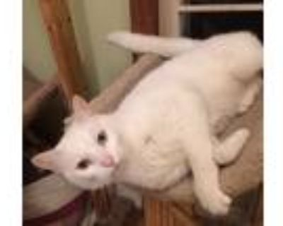 Adopt Snowball a White Domestic Shorthair / Mixed (short coat) cat in Mobile