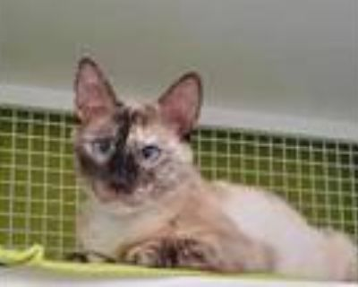 Adopt My Own Summer a Cream or Ivory Domestic Shorthair / Siamese / Mixed cat in