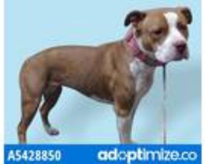 Adopt CHERRY a Brown/Chocolate - with White American Pit Bull Terrier / Mixed