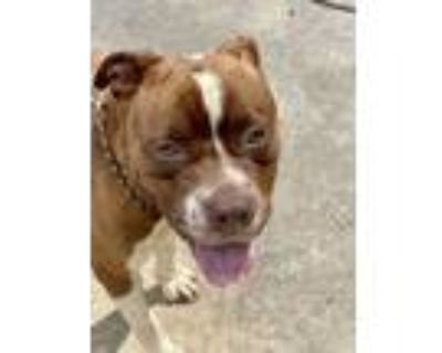 Adopt Greyson a Pit Bull Terrier