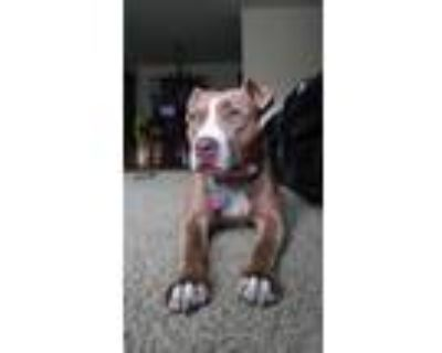 Adopt Georgina a Brown/Chocolate - with White American Pit Bull Terrier / Mixed
