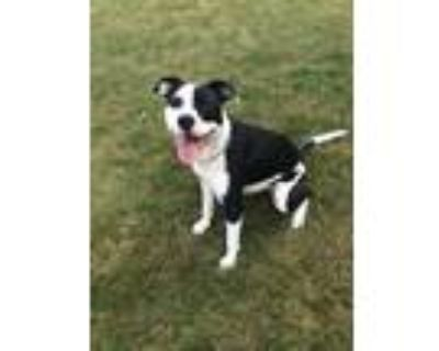 Adopt Penelope a Black - with White Hound (Unknown Type) / Mixed dog in