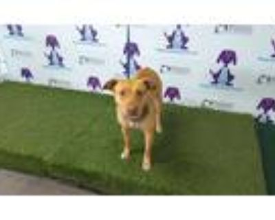 Adopt MILA a Tan/Yellow/Fawn - with White American Pit Bull Terrier / Mixed dog