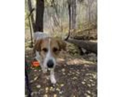Adopt Cooper a Red/Golden/Orange/Chestnut - with White Great Pyrenees /