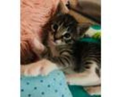 Adopt Duke a Domestic Short Hair, Tabby