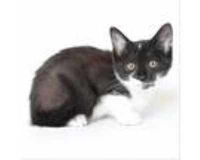 Adopt Calliope a All Black Domestic Shorthair / Mixed cat in Springfield
