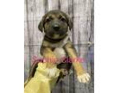 Adopt Sophie Clarke a Labrador Retriever dog in Merrifield, VA (31649819)
