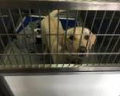 Adopt CALLIE a Labrador Retriever, Mixed Breed