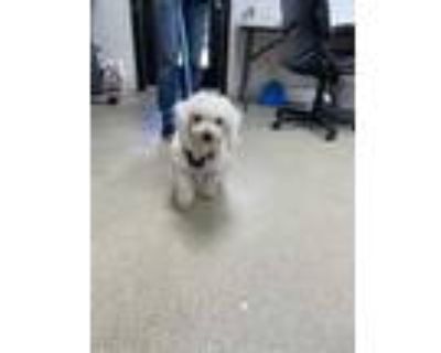 Adopt ADOPTED a White Poodle (Miniature) / Mixed dog in Fort Worth