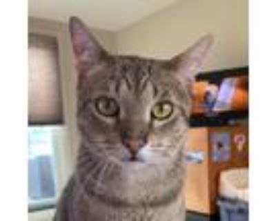 Adopt Wiley a Brown Tabby Domestic Shorthair / Mixed cat in Palatine