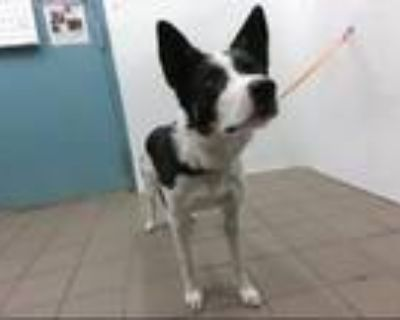 Adopt PRINGLE a Australian Cattle Dog / Blue Heeler, Border Collie