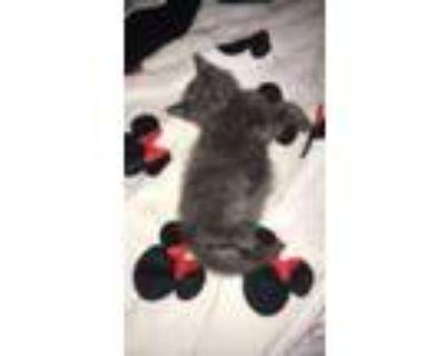 Adopt buddy a Gray, Blue or Silver Tabby American Shorthair / Mixed (medium