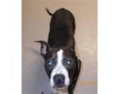 Adopt BUFFY a Black - with White American Pit Bull Terrier / Mixed dog in