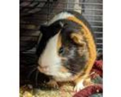 Adopt Daffodil a Guinea Pig
