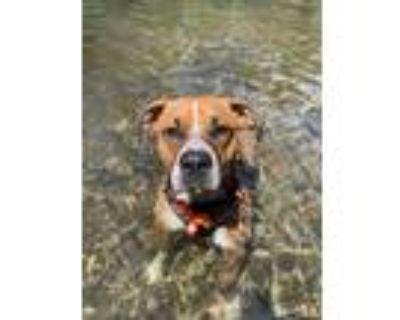 Adopt Gunner a Tan/Yellow/Fawn - with White Boxer / Mixed dog in Davis
