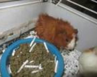 Adopt Twitch-VIP a Red Guinea Pig / Mixed small animal in Arlington
