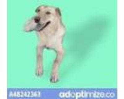 Adopt 48242363 a Tan/Yellow/Fawn Retriever (Unknown Type) / Mixed dog in El