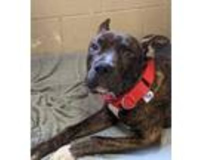 Adopt Kungo a Brown/Chocolate American Pit Bull Terrier / Mixed dog in