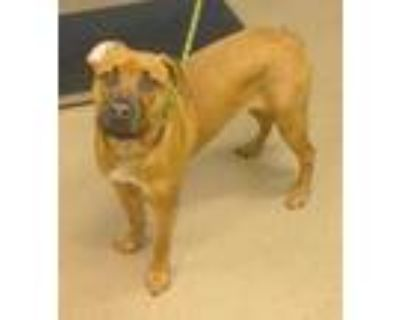 Adopt Charlie -ADOPTED! a Brown/Chocolate Mixed Breed (Large) / Mixed dog in
