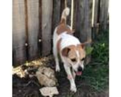 Adopt Garbanzo a White - with Tan, Yellow or Fawn Jack Russell Terrier / Mixed