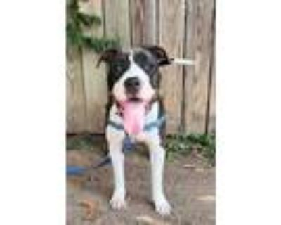 Adopt Chip a Black American Pit Bull Terrier / Mixed dog in Washington
