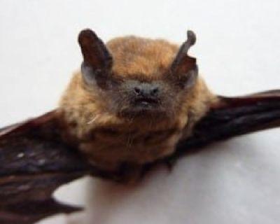 Remove Bats in Attic
