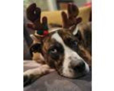 Adopt Marley a Australian Cattle Dog / Blue Heeler
