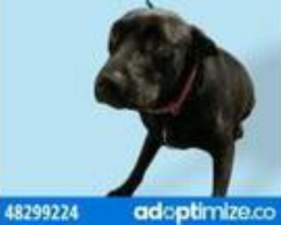 Adopt 48299224 a Black Retriever (Unknown Type) / Mixed dog in El Paso