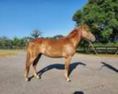 Adopt Daffodil a Paso Fino / Mixed horse in Houston, TX (32520168)