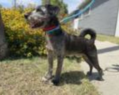 Adopt Niclo a Airedale Terrier, Welsh Terrier