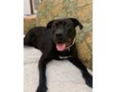 Adopt Pollo a Pit Bull Terrier, Terrier