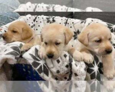 ADORABLE AKC YELLOW LAB PUPPIES