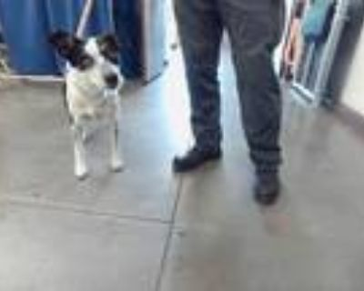 Adopt BROOKLYN a Black - with White Australian Cattle Dog / Mixed dog in