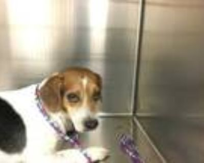 Adopt Dog a Tricolor (Tan/Brown & Black & White) Beagle / Mixed dog in Thousand