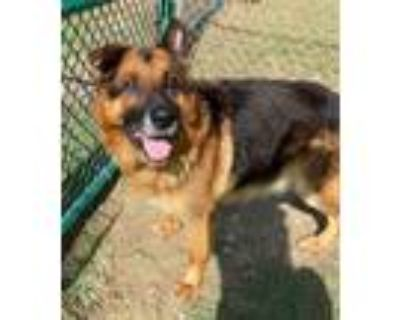 Adopt Joey a Shepherd (Unknown Type) / Mixed dog in Little Rock, AR (32061729)