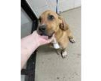 Adopt 47939571 a Tan/Yellow/Fawn Hound (Unknown Type) / Mixed dog in Fort Worth