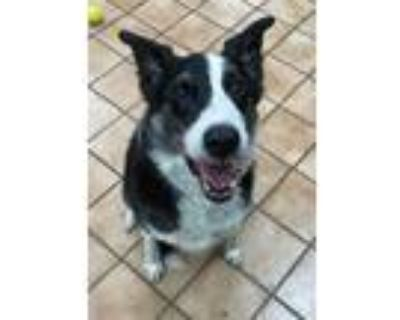 Adopt LUCKY a Black - with White Border Collie / Mixed dog in Indianapolis