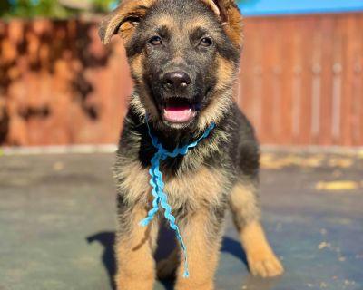 Champion German Shepherd Dog Puppies
