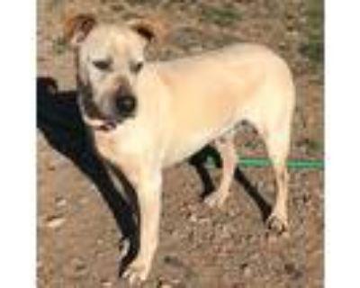 Adopt Rocky a Shar-Pei, Cattle Dog