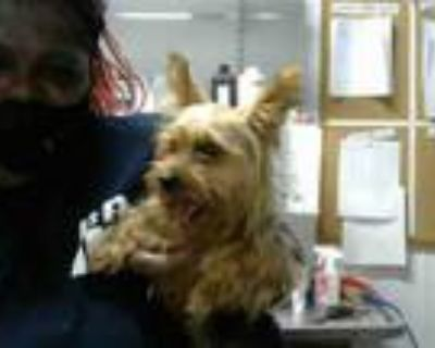 Adopt FANCY PANTS a Yorkshire Terrier, Mixed Breed