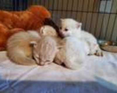 Adopt Kittens (not available) a Siamese