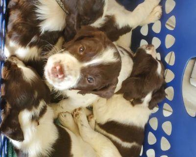 AKC English Springer Spaniels puppies