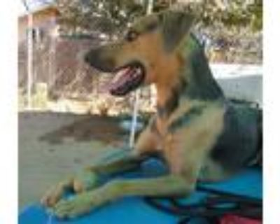 Adopt Bentley a Tan/Yellow/Fawn - with Black Hound (Unknown Type) / Black and