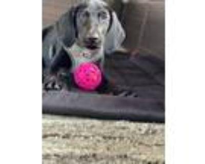 Adopt Garren a Hound, Labrador Retriever