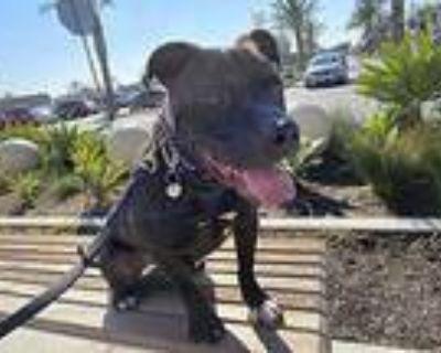 Kobe Bryant, American Pit Bull Terrier For Adoption In Los Angeles, California