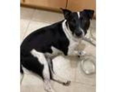 Adopt Bella a White - with Black American Pit Bull Terrier / Blue Heeler / Mixed
