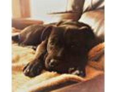 Adopt Livia a Black - with White Shar Pei / Labrador Retriever dog in Colorado