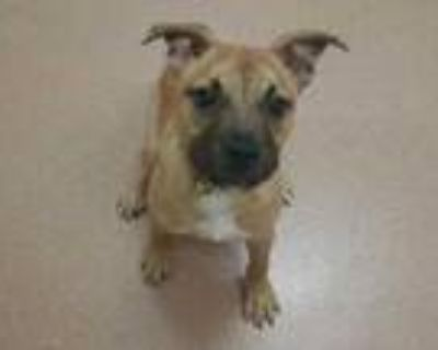 Adopt Chelsea a Tan/Yellow/Fawn Boxer / Mixed dog in Boulder, CO (32028012)