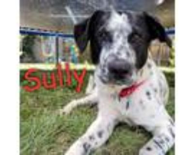 Adopt Sully a Black - with White Pointer / Cattle Dog / Mixed dog in Mead