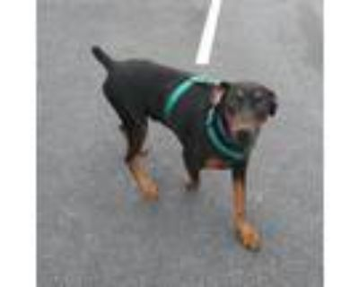 Adopt Apollo-very loving a Black Doberman Pinscher / Mixed Breed (Large) / Mixed